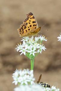 ニラの花と、花蜜や花粉を求めて花に群がるチョウや蜂などの昆虫の写真素材 [FYI01207681]