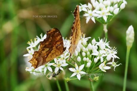 ニラの花と、花蜜や花粉を求めて花に群がるチョウや蜂などの昆虫の写真素材 [FYI01207682]