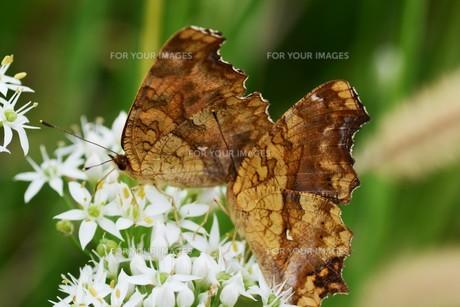 ニラの花と、花蜜や花粉を求めて花に群がるチョウや蜂などの昆虫の写真素材 [FYI01207683]