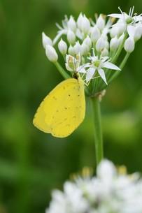 ニラの花と、花蜜や花粉を求めて花に群がるチョウや蜂などの昆虫の写真素材 [FYI01207685]