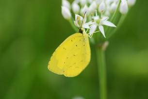 ニラの花と、花蜜や花粉を求めて花に群がるチョウや蜂などの昆虫の写真素材 [FYI01207686]