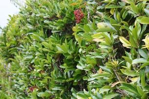 サンゴジュの実 ・ 燃えにくい木で火災延焼防止のための生垣に良く利用される。の写真素材 [FYI01207789]