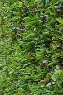 サンゴジュの実 ・ 燃えにくい木で火災延焼防止のための生垣に良く利用される。の写真素材 [FYI01207793]