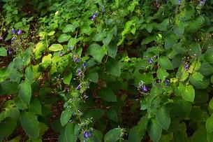 カリガネソウ ・ 林の片すみで 秋風に揺れている 清楚な花よ…の写真素材 [FYI01207845]