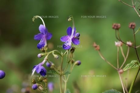 カリガネソウ ・ 林の片すみで 秋風に揺れている 清楚な花よ…の写真素材 [FYI01207847]
