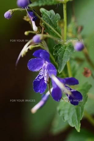 カリガネソウ ・ 林の片すみで 秋風に揺れている 清楚な花よ…の写真素材 [FYI01207848]