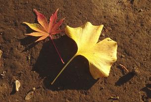秋の色(イチョウと楓)の写真素材 [FYI01207972]