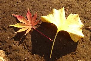 秋の色(イチョウと楓)の写真素材 [FYI01207973]