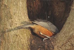 ヤマガラと木のうろの写真素材 [FYI01207989]