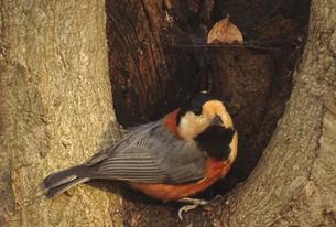 ヤマガラと木のうろの写真素材 [FYI01207990]