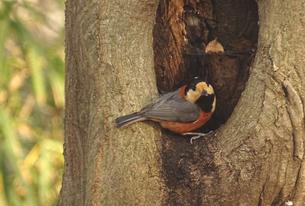 ヤマガラと木のうろの写真素材 [FYI01207991]