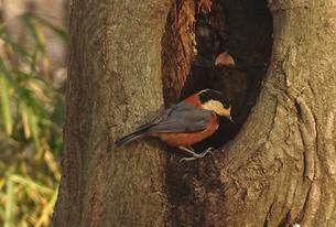 ヤマガラと木のうろの写真素材 [FYI01207992]