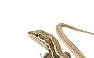 カナヘビの写真素材 [FYI01207993]