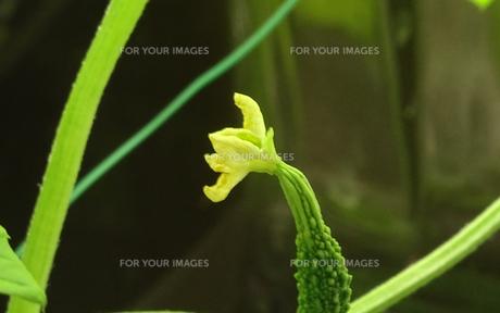 ゴーヤ(苦瓜)なり立ての花と実の写真素材 [FYI01207998]