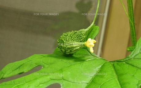 ゴーヤ(苦瓜)なり立ての花と実の写真素材 [FYI01207999]
