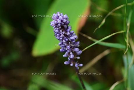 ヤブラン (藪蘭)の写真素材 [FYI01208007]