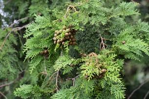 ヒノキの実 ・ ヒノキは香りよく耐久性、保存性抜群の優良な建材。の写真素材 [FYI01208028]