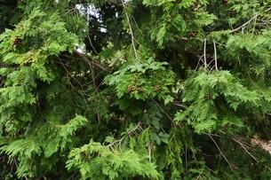 ヒノキの実 ・ ヒノキは香りよく耐久性、保存性抜群の優良な建材。の写真素材 [FYI01208029]