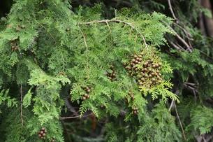 ヒノキの実 ・ ヒノキは香りよく耐久性、保存性抜群の優良な建材。の写真素材 [FYI01208030]