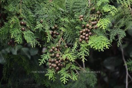 ヒノキの実 ・ ヒノキは香りよく耐久性、保存性抜群の優良な建材。の写真素材 [FYI01208031]
