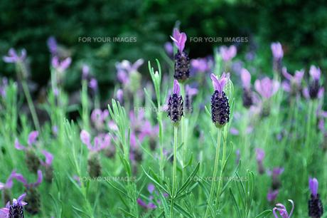 紫色のハーブの花の写真素材 [FYI01208038]
