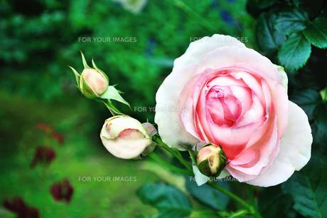ピンクのバラのクローズアップの写真素材 [FYI01208045]