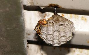 キイロアシナガバチの写真素材 [FYI01208055]