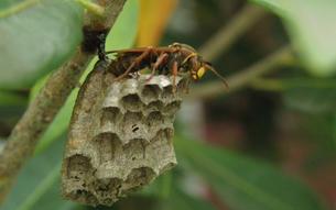 セグロアシナガバチの写真素材 [FYI01208064]