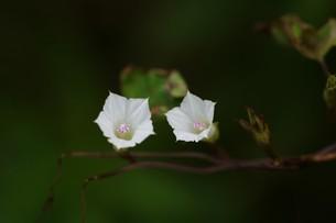 マメアサガオの写真素材 [FYI01208251]