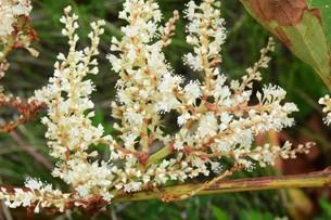 イタドリの花の写真素材 [FYI01208276]