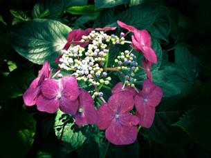 色とりどりのアジサイの写真素材 [FYI01208320]