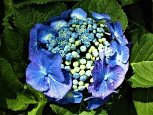 青いあじさいの写真素材 [FYI01208335]