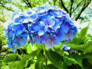 青いあじさいの写真素材 [FYI01208337]