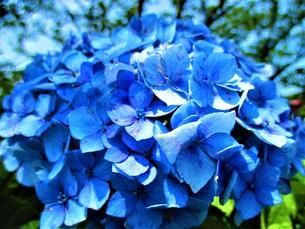 青いあじさいの写真素材 [FYI01208340]