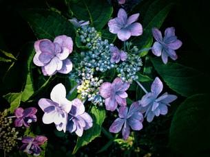 青いあじさいの写真素材 [FYI01208344]