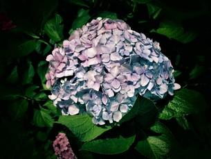 色とりどりのアジサイの写真素材 [FYI01208345]