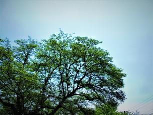 青いあじさいの写真素材 [FYI01208347]