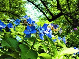 青いあじさいの写真素材 [FYI01208353]