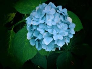 青いあじさいの写真素材 [FYI01208354]