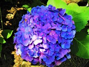 青いあじさいの写真素材 [FYI01208365]
