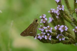 アレチハナガサ(荒地花笠)の花蜜を吸っている イチモンジセセリの写真素材 [FYI01208425]
