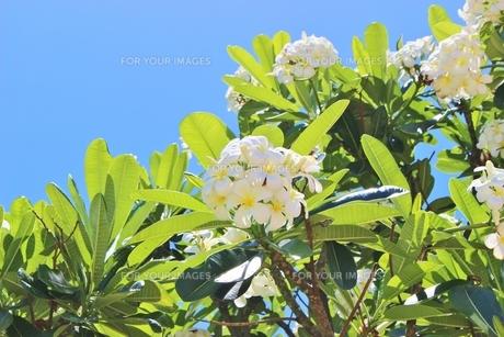 ハワイの花プルメリアの写真素材 [FYI01208521]