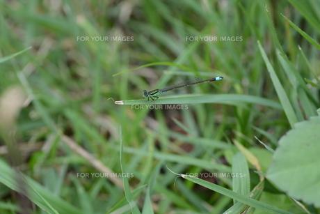 イトトンボ ・ 細身で上品な 昆虫界の貴婦人…の写真素材 [FYI01208534]