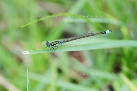 イトトンボ ・ 細身で上品な 昆虫界の貴婦人…の写真素材 [FYI01208535]