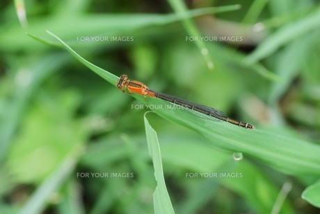 イトトンボ ・ 細身で上品な 昆虫界の貴婦人…の写真素材 [FYI01208536]