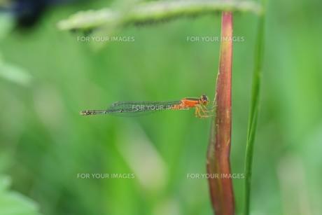 イトトンボ ・ 細身で上品な 昆虫界の貴婦人…の写真素材 [FYI01208537]