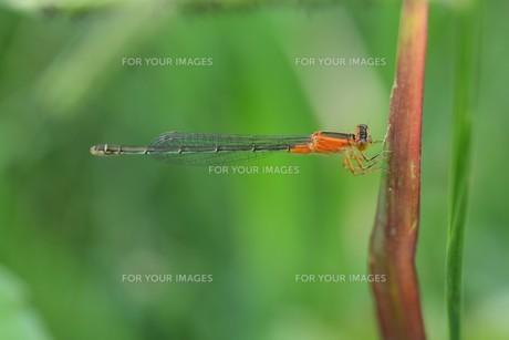 イトトンボ ・ 細身で上品な 昆虫界の貴婦人…の写真素材 [FYI01208538]