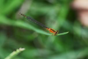 イトトンボ ・ 細身で上品な 昆虫界の貴婦人…の写真素材 [FYI01208539]