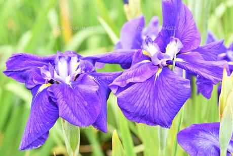菖蒲の花の写真素材 [FYI01208557]