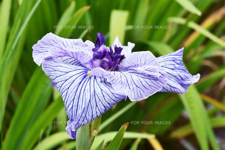 菖蒲の花の写真素材 [FYI01208559]